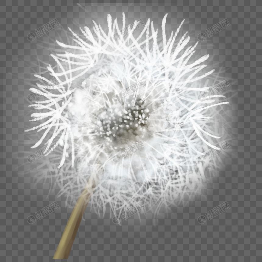 white dandelion png