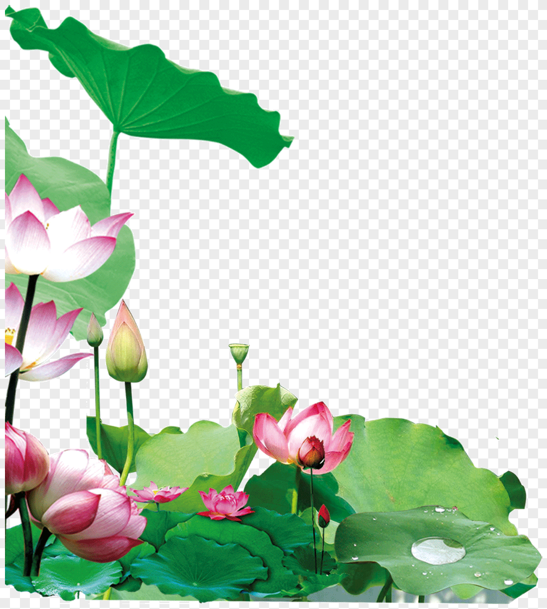 Lotus flower in the lotus pond photo image_picture free download.
