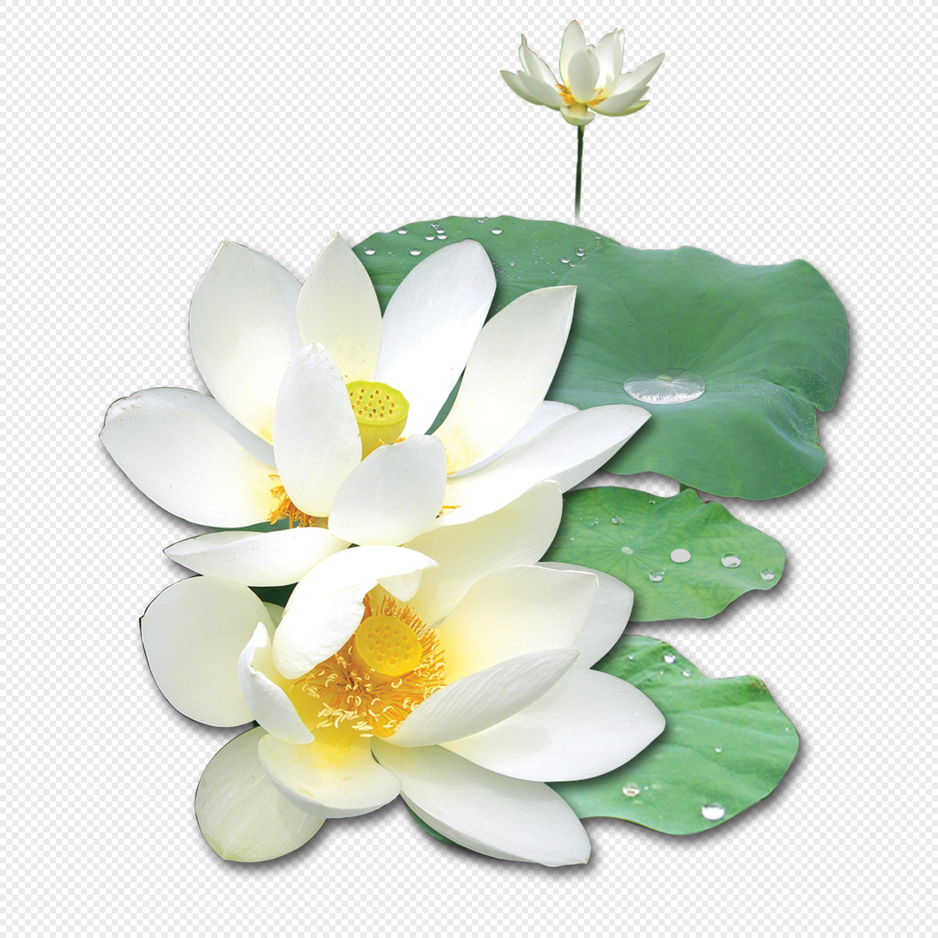 White Lotus Flower Png Imagepicture Free Download 400457102lovepik