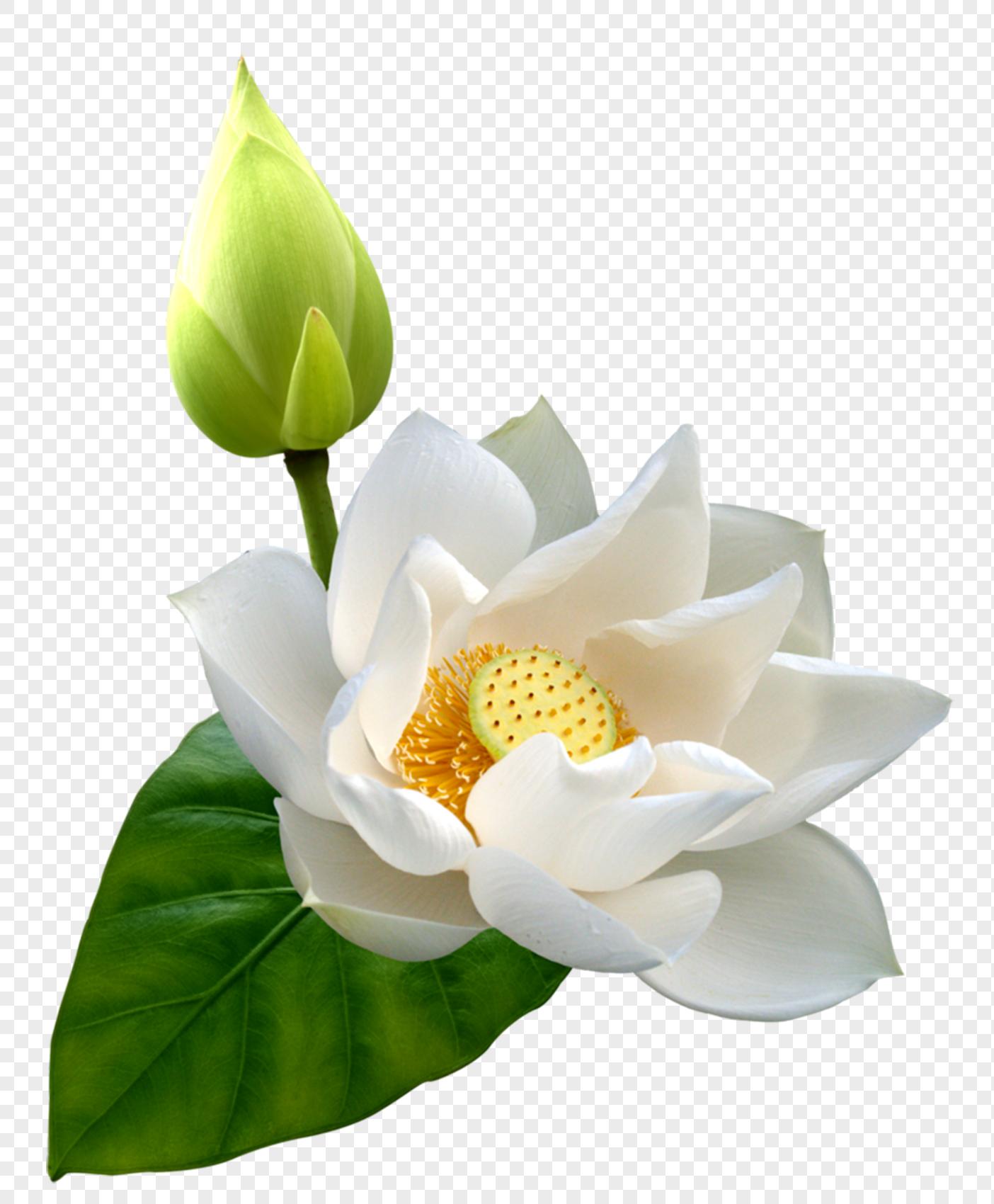 White lotus flower png imagepicture free download 400472751lovepik white lotus flower izmirmasajfo