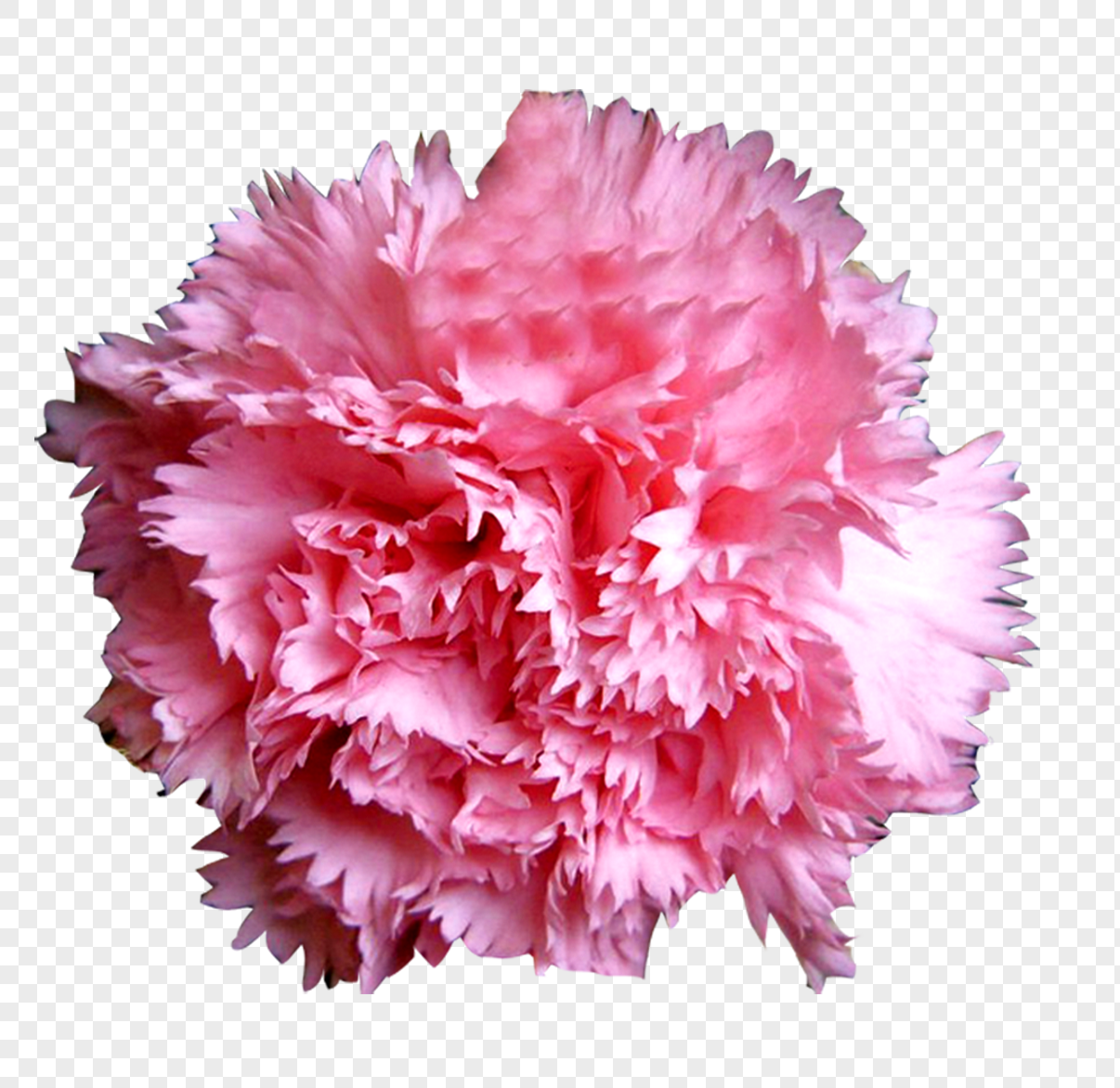 Flower Pink Carnation Flower Ball Png Imagepicture Free Download