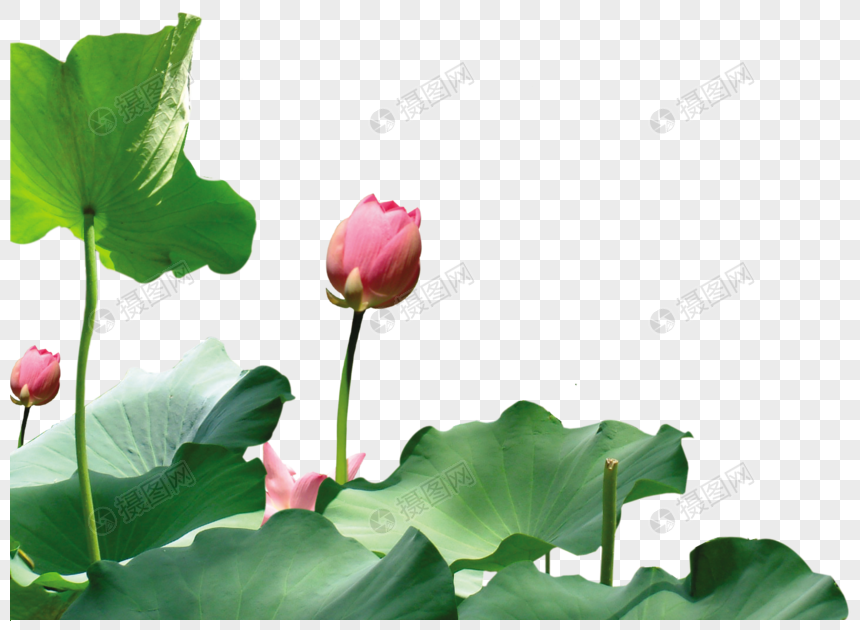 Lotus Leaf Lotus Flower Png Imagepicture Free Download