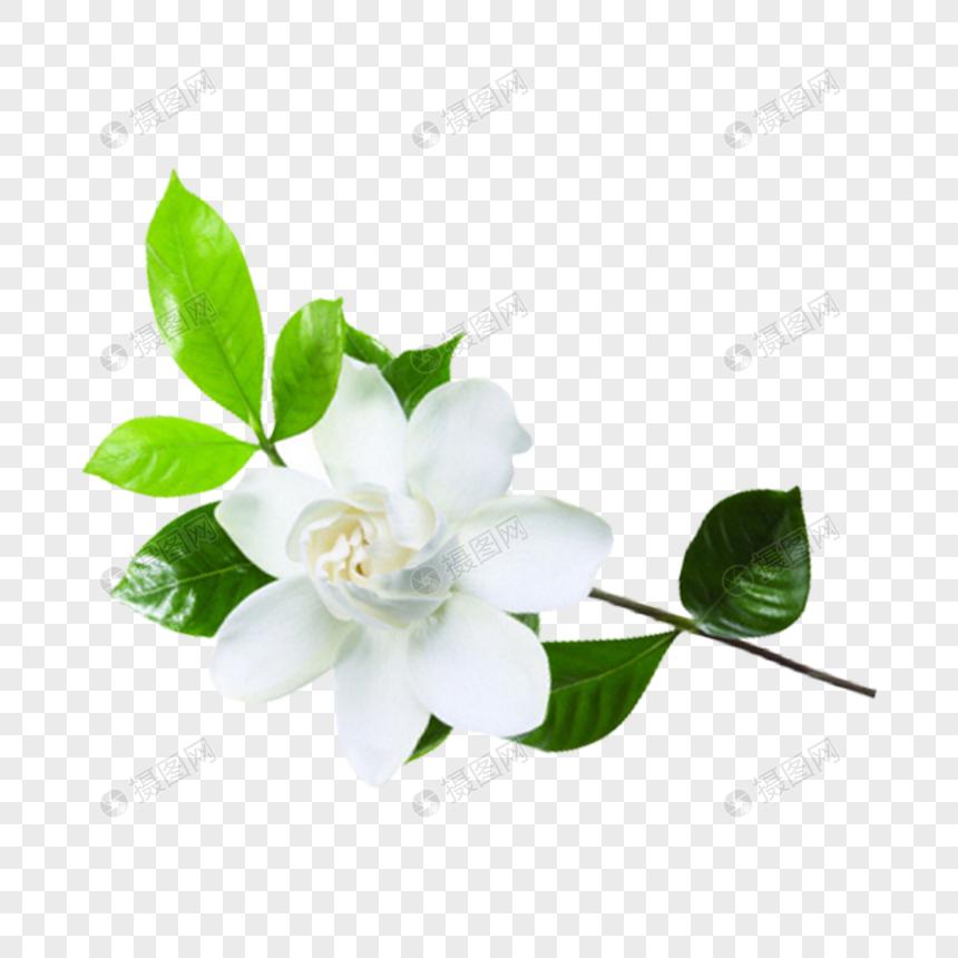 ดอกมะลิ: ดอกมะลิ ดาวน์โหลดรูปภาพ (รหัส) 400496438_ขนาด 5.4 MB_รูป