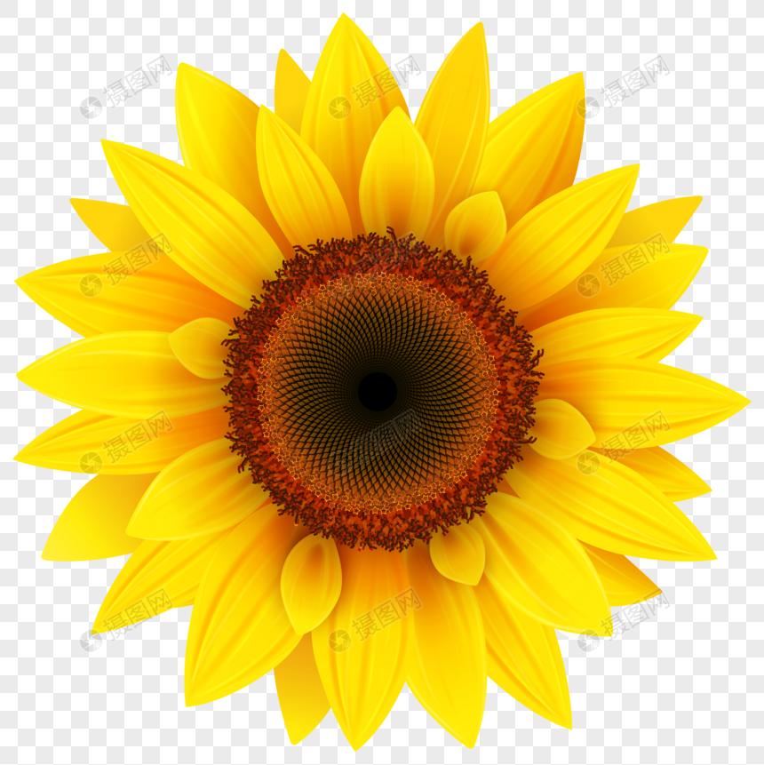 53+ Gambar Bunga Matahari Cantik Terbaik