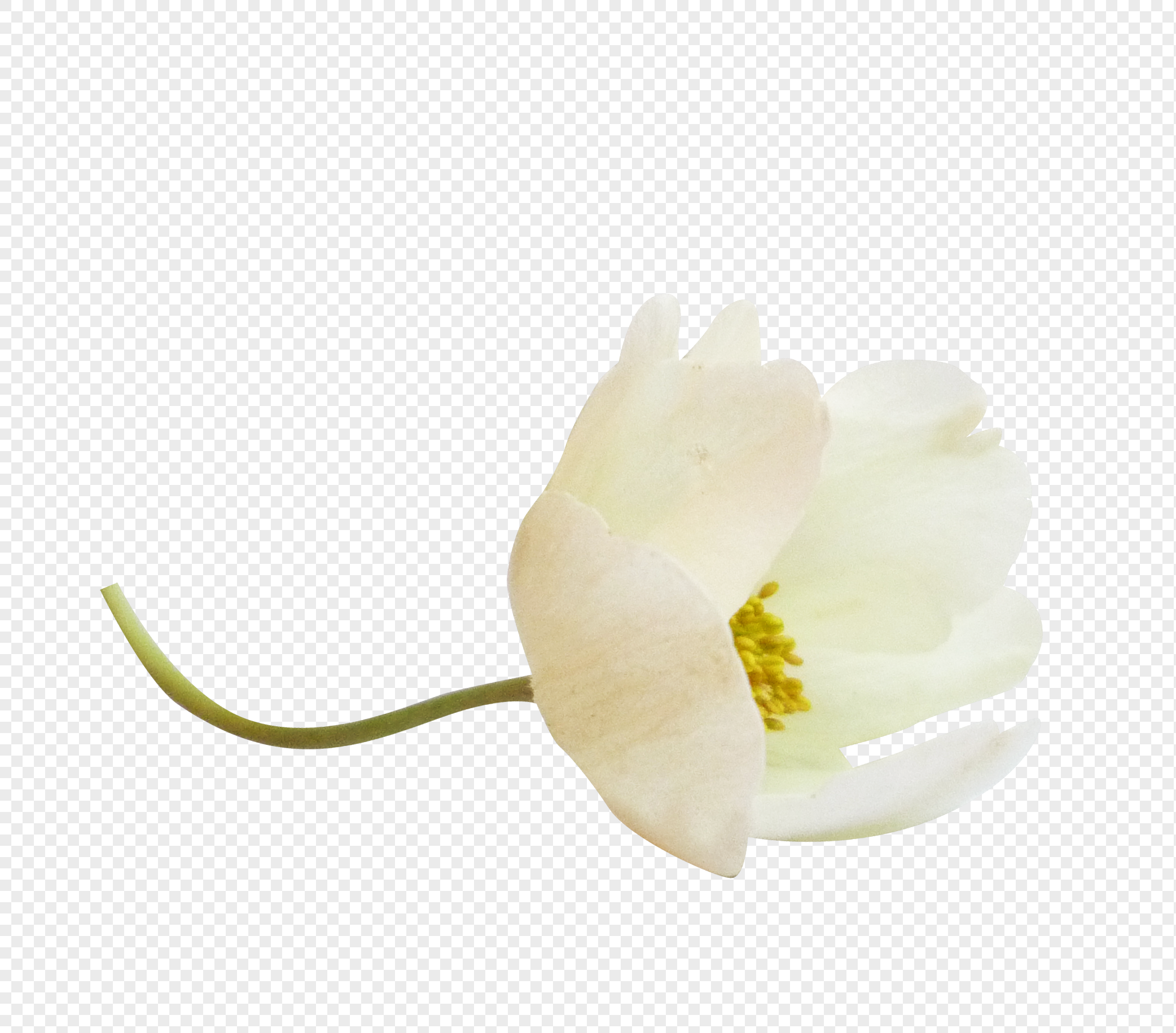 White And Fresh Flowers Png Imagepicture Free Download