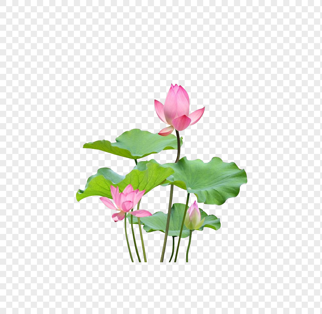 Lotus Leaf And Lotus Flower Png Imagepicture Free Download