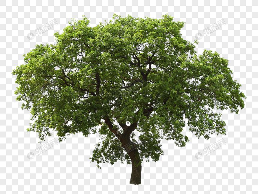 ต้นไม้สีเขียวขนาดใหญ่ png