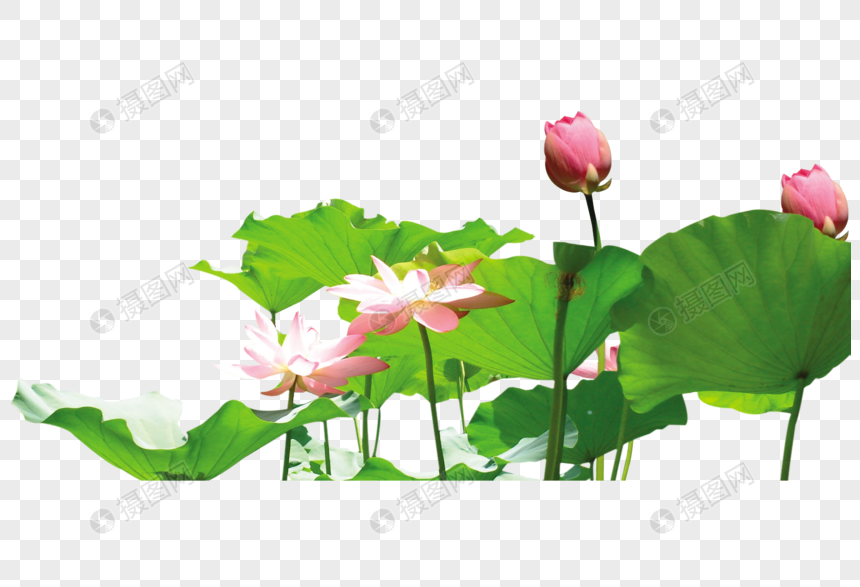 Lotus Flower Png Imagepicture Free Download 400543123lovepikcom