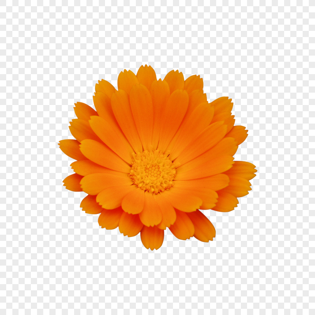 A marigold flower png imagepicture free download 400598932lovepik a marigold flower mightylinksfo