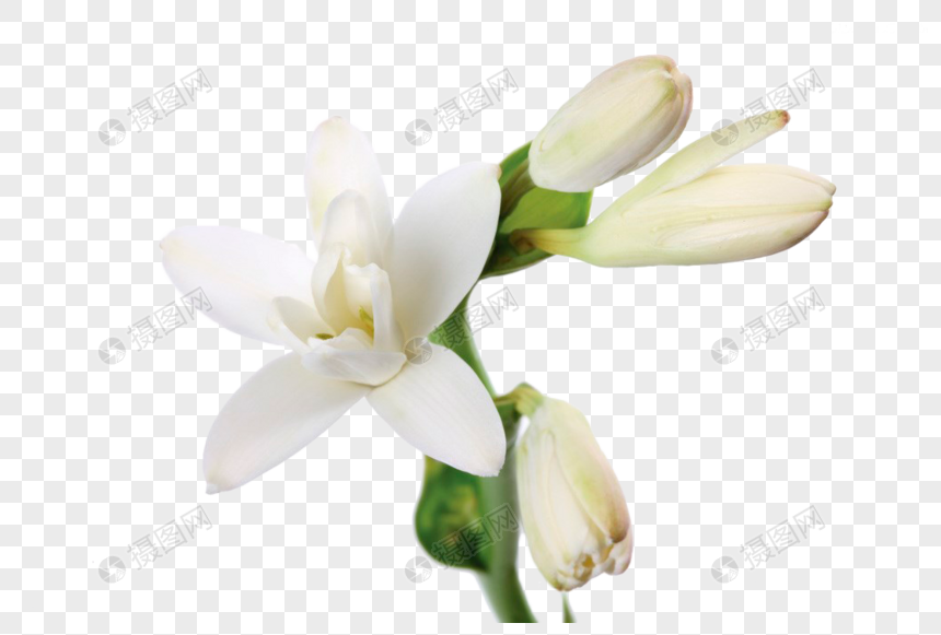 White Jasmine Flower Png Image Picture Free Download