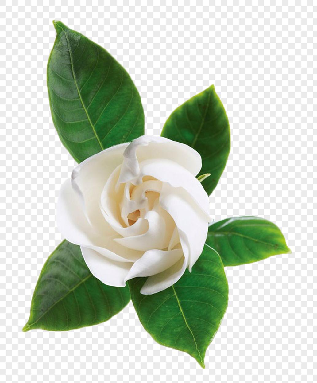 ดอกมะลิ: ดอกมะลิสีขาวหมายเลขดาวน์โหลดภาพ400704861_ขนาด20 M_รูปแบบ