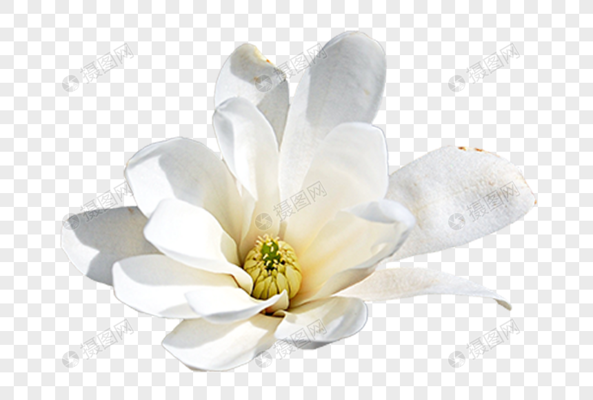 Gardenia Vector Material Png Image Picture Free Download