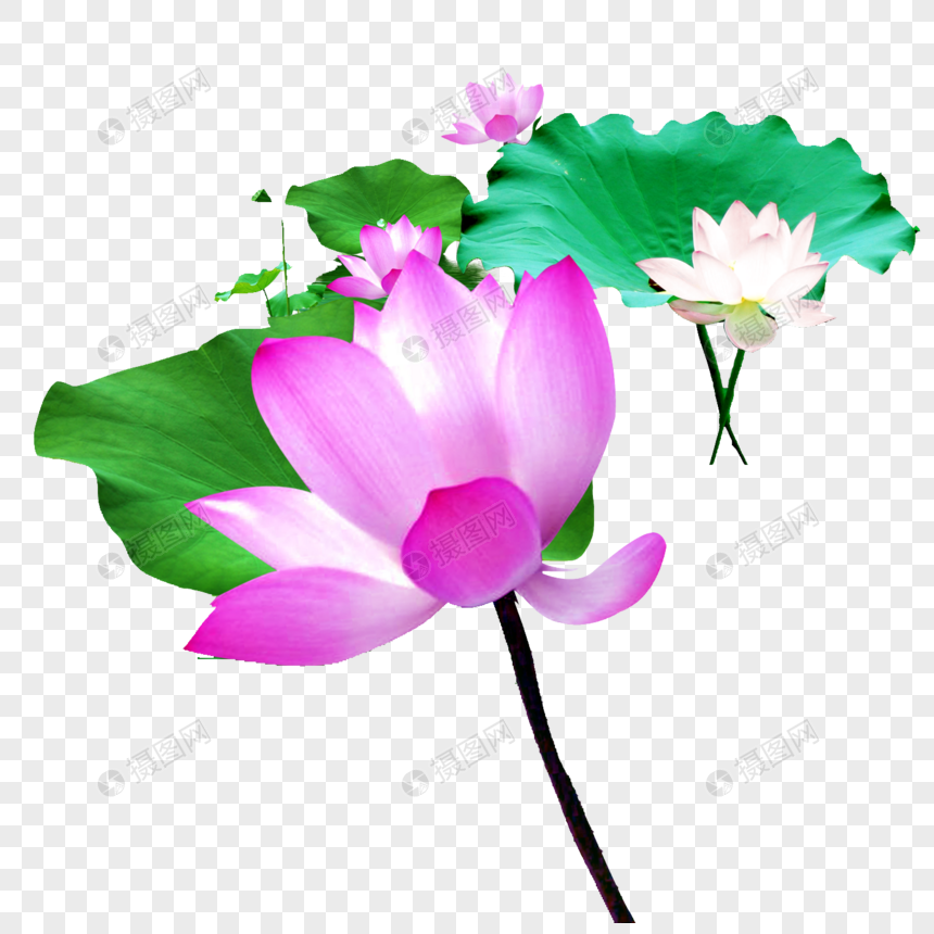 Lotus Flower In Water Png Imagepicture Free Download