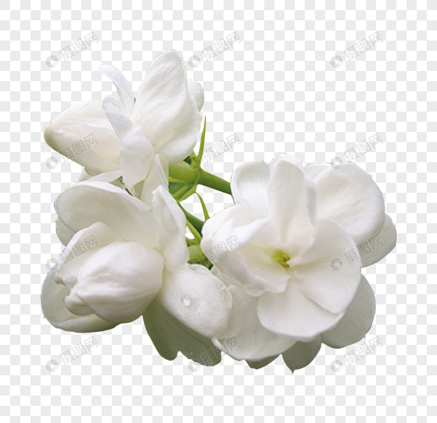 ดอกมะลิ: ดอกมะลิ ดาวน์โหลดรูปภาพ (รหัส) 400860191_ขนาด 20 M_รูปแบบ