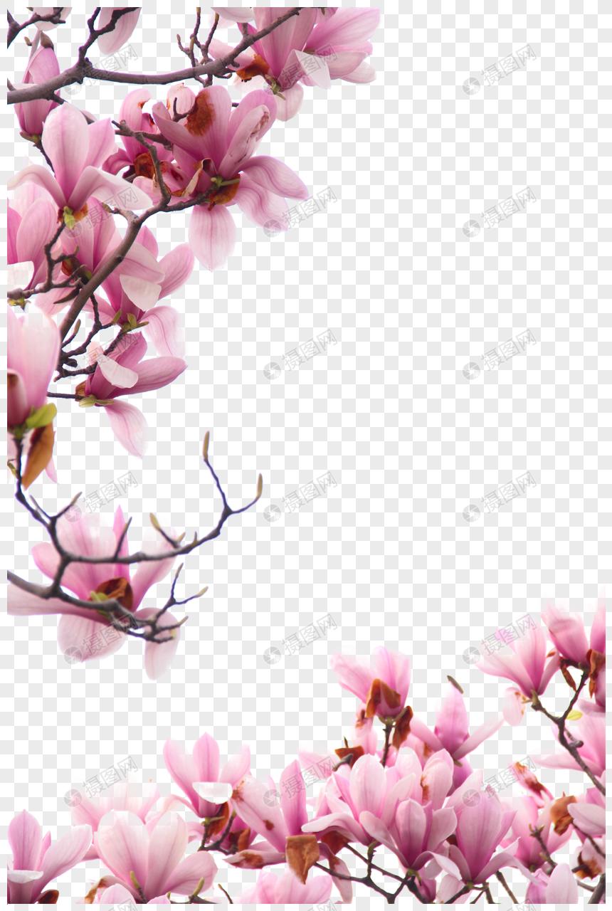 Обои магнолия. Цветы