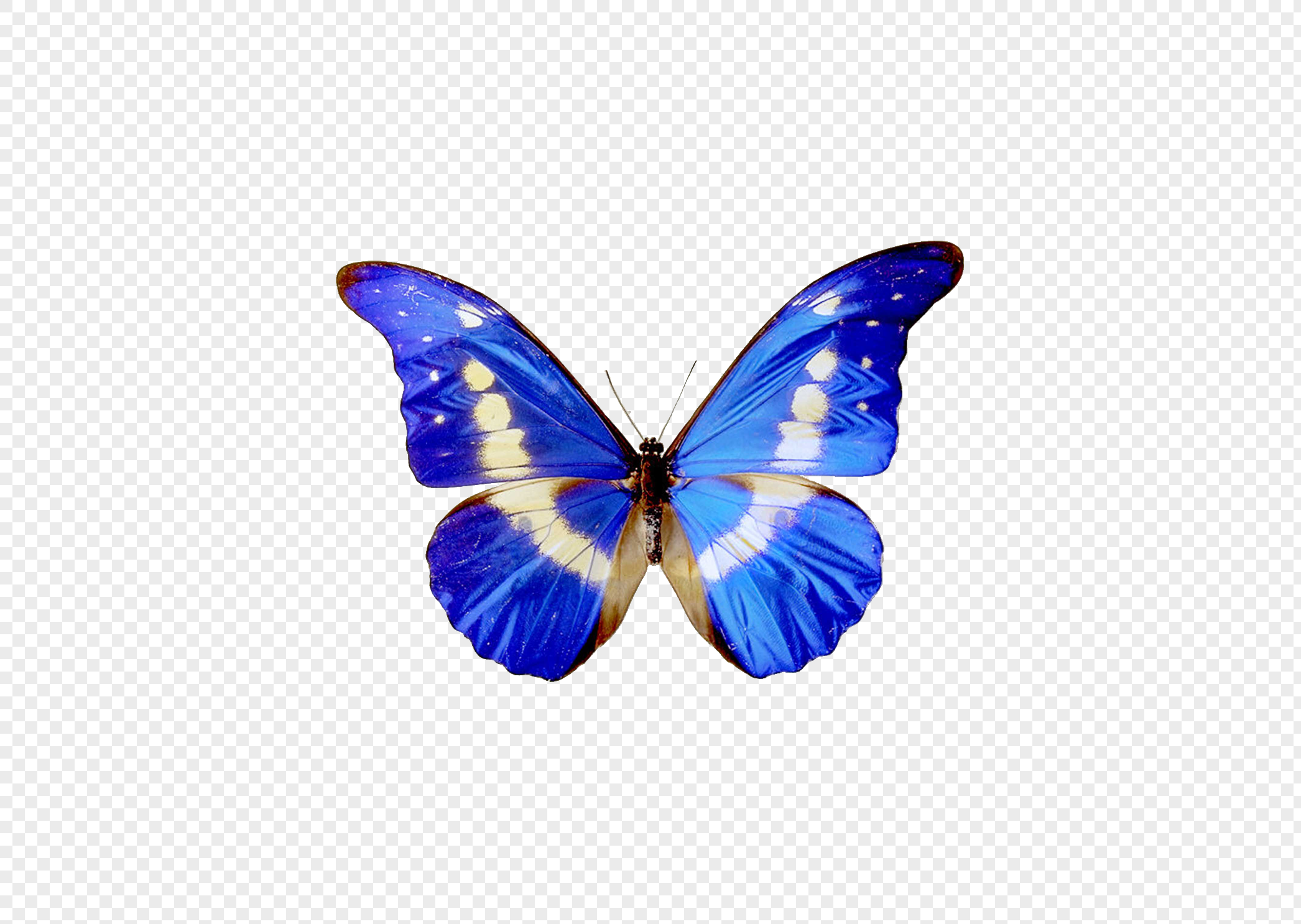 Blue Butterfly Specimens Png Image Picture Free Download