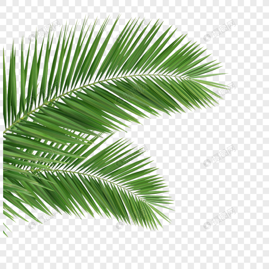 coconut leaves green leaves tropical plants png