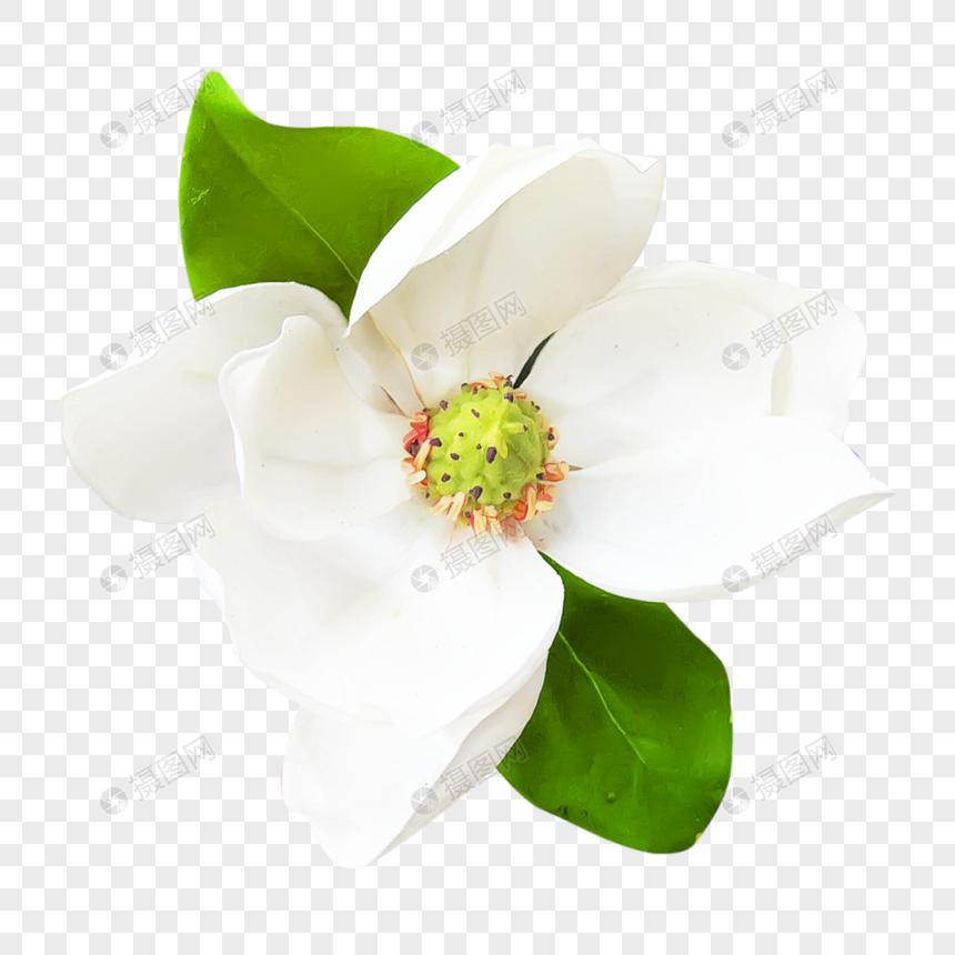 ดอกมะลิ: พื้นหลังดอกมะลิสีขาว ดาวน์โหลดรูปภาพ (รหัส) 400915871_ขนาด
