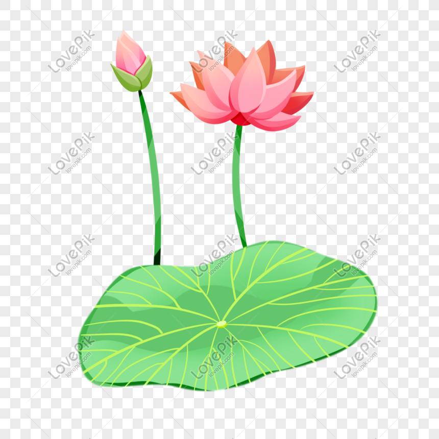 summer solstice pink lotus blossom flower bone lotus leaf illust png