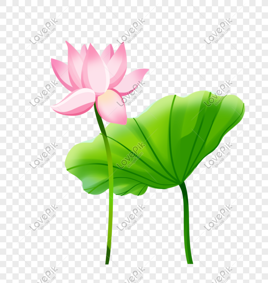 summer solstice beautiful pink lotus blooming lotus leaf illustr png
