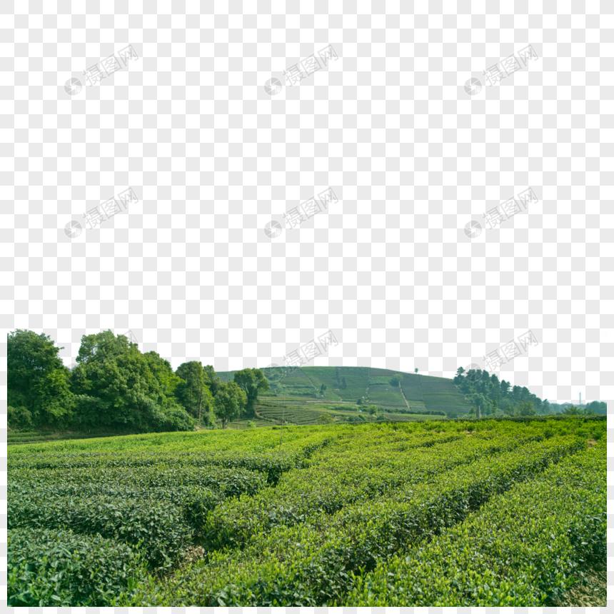 Green Tea Bud Tea Png Image Picture Free Download 401676915 Lovepik Com