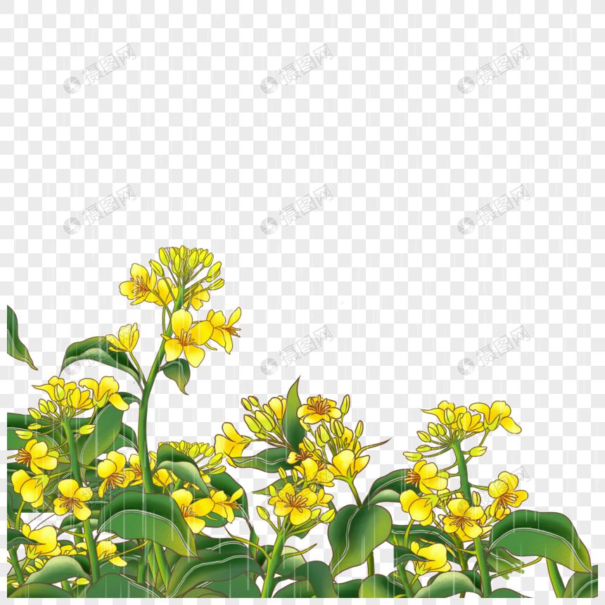 Цветок канолы png