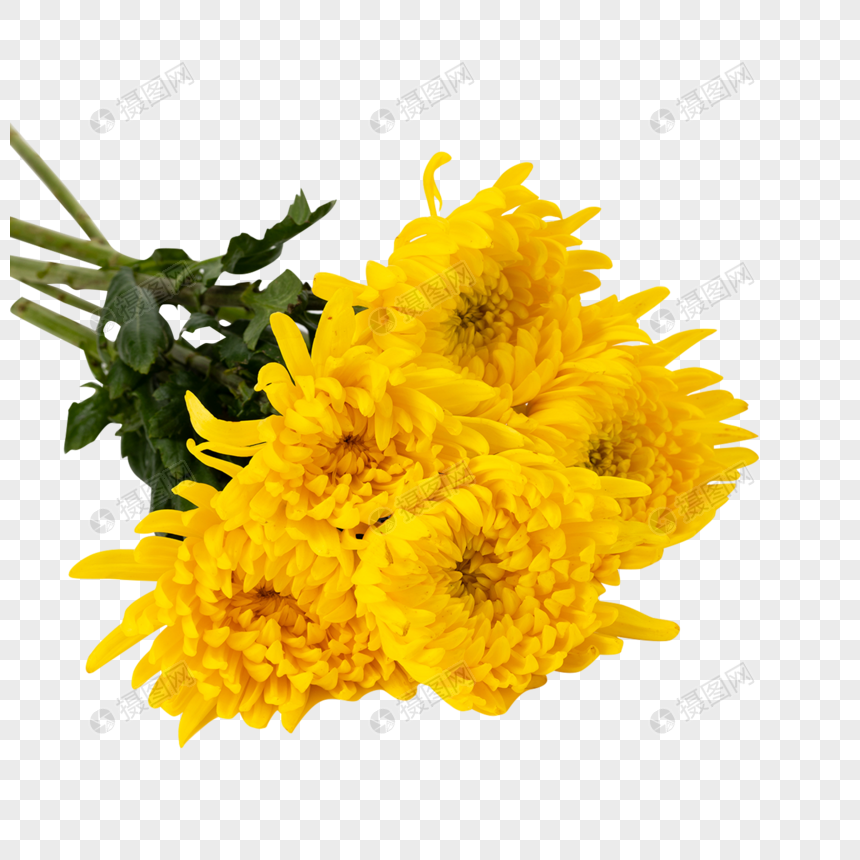 crisantemo floral amarillo dorado png