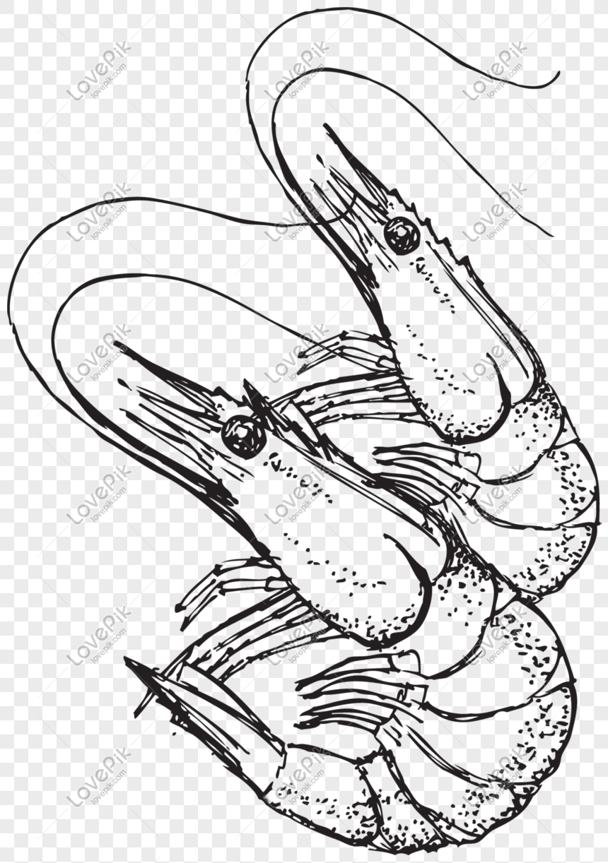 Sketch Gray Prawn Png Image Picture Free