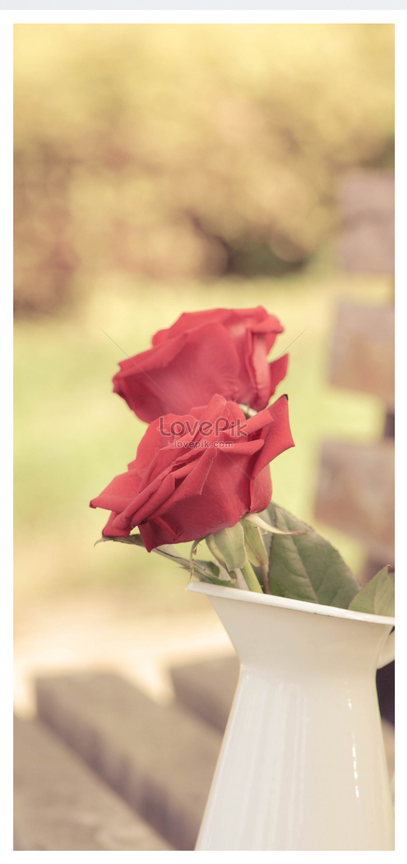 red rose mobile wallpaper backgrounds image picture free download