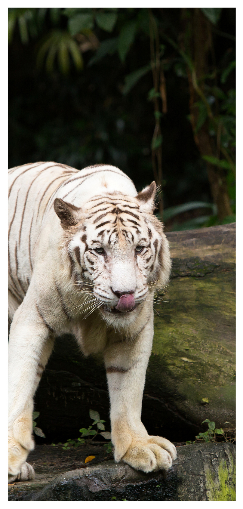 Bengal White Tiger Cell Phone Wallpaper Backgrounds Image Picture