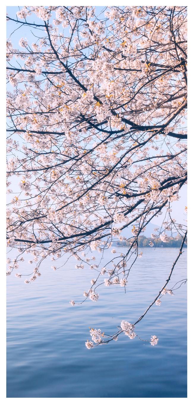 桜風景のモバイル壁紙イメージ 背景 Id Prf画像フォーマットjpg Jp Lovepik Com