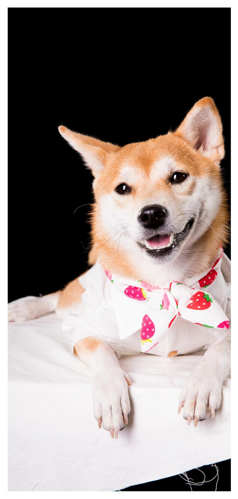 柴犬犬モバイル壁紙イメージ 背景 Id 400671946 Prf画像フォーマット