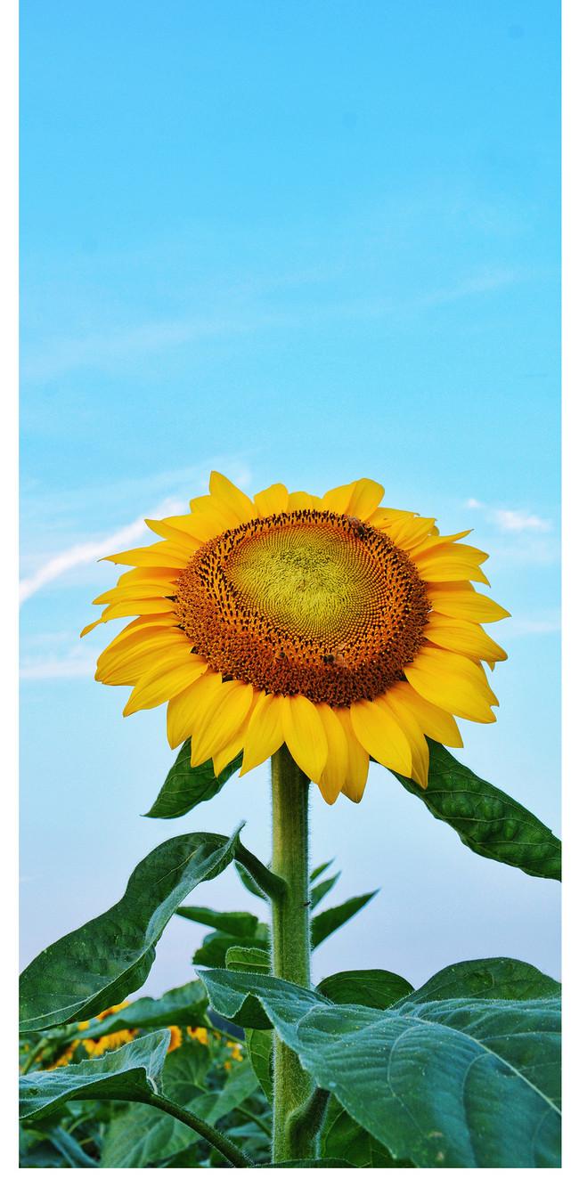 Wallpaper Ponsel Bunga Matahari gambar unduh gratis  Latar ...