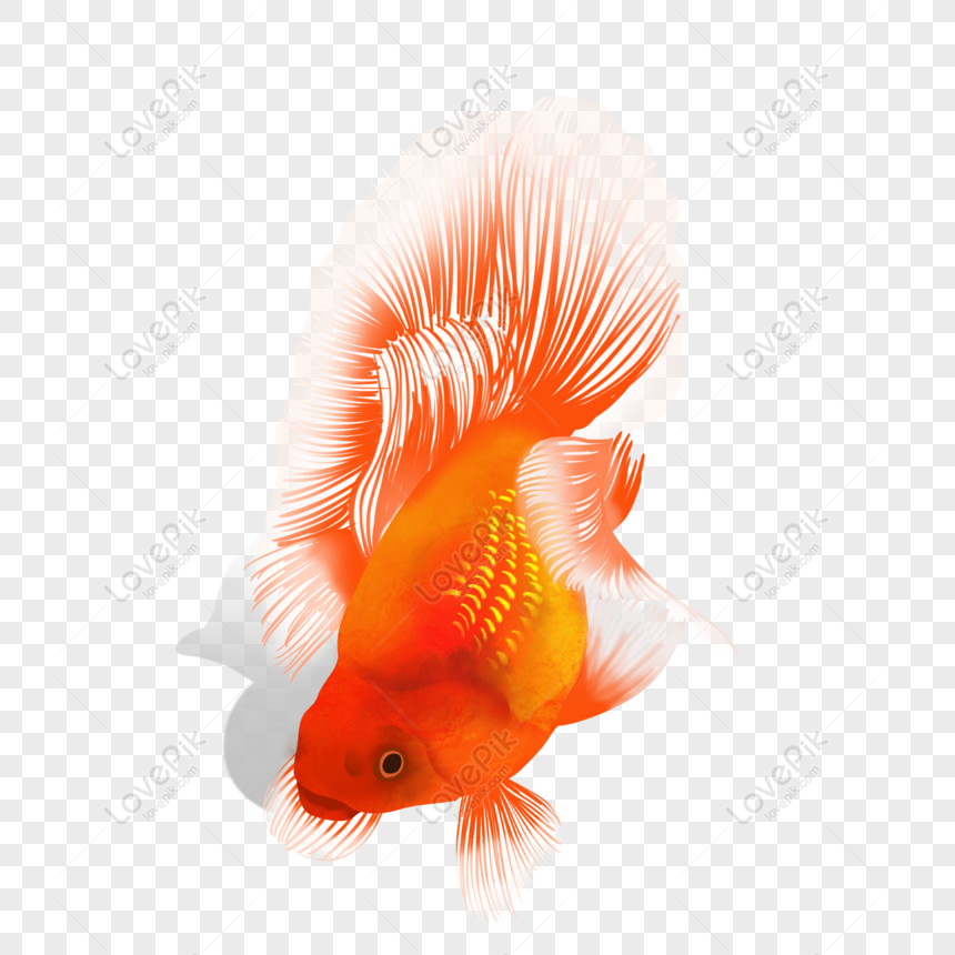 Free Lucky Red Koi Goldfish Watercolor Hand Drawn Hand Book Png Psd Image Download Size 2000 2000 Px Id 832713484 Lovepik