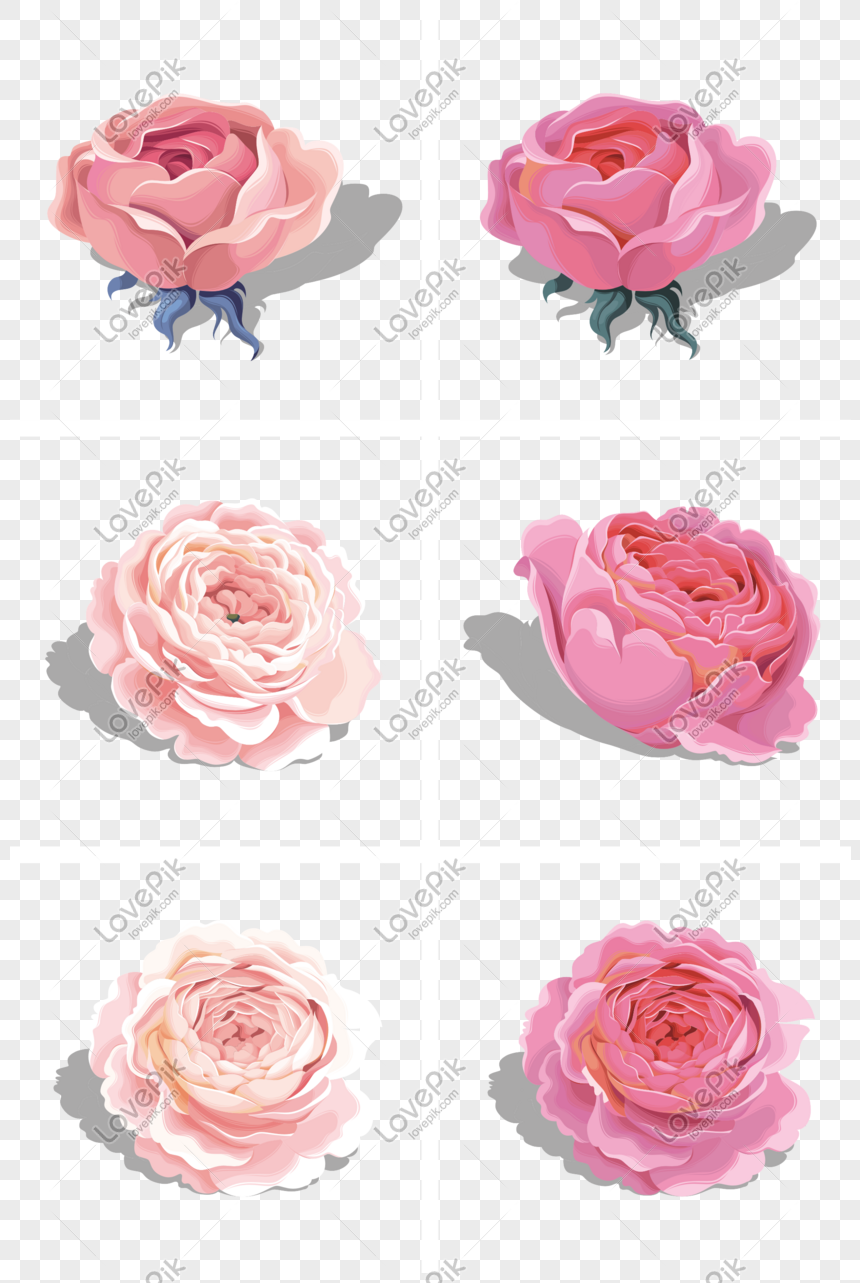 Beautiful Pink Vector Peony Rose Flower Png Image Picture