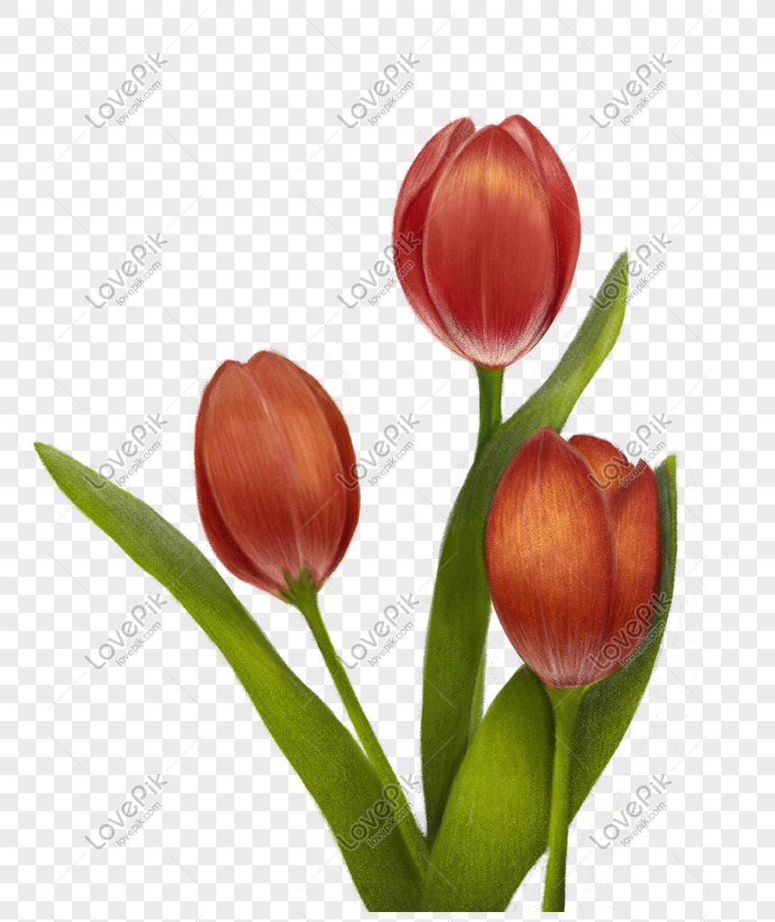 Ilustrasi Tema Bunga Tulip Png Grafik Gambar Unduh Gratis Lovepik
