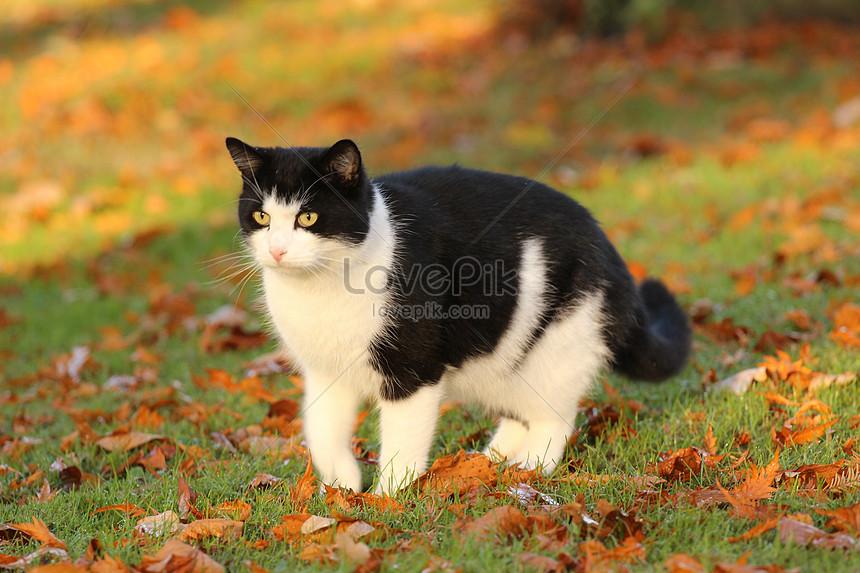 92  Gambar Kucing Warna Hitam Putih Terlihat Cantik