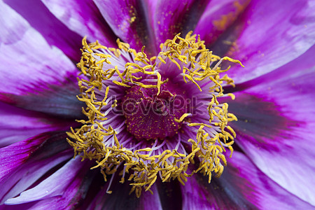 The stamens of the purple flower photo imagepicture free download the yellow stamen of the purple flower mightylinksfo