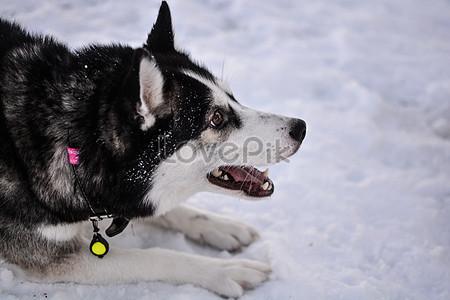 Siberia Huskies Images 311 Siberia Huskies Pictures Free Download On