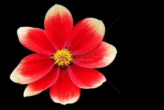Fiore Rosso Su Sfondo Nero Immagine Gratisfoto Numero
