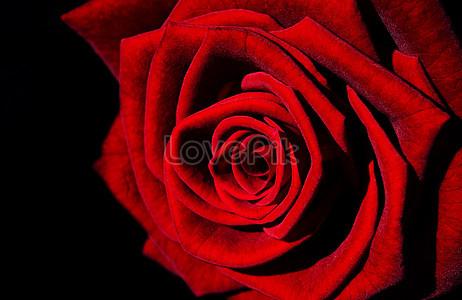 Rosa Davanti A Sfondo Nero Immagini Gratisrosa Davanti A Sfondo