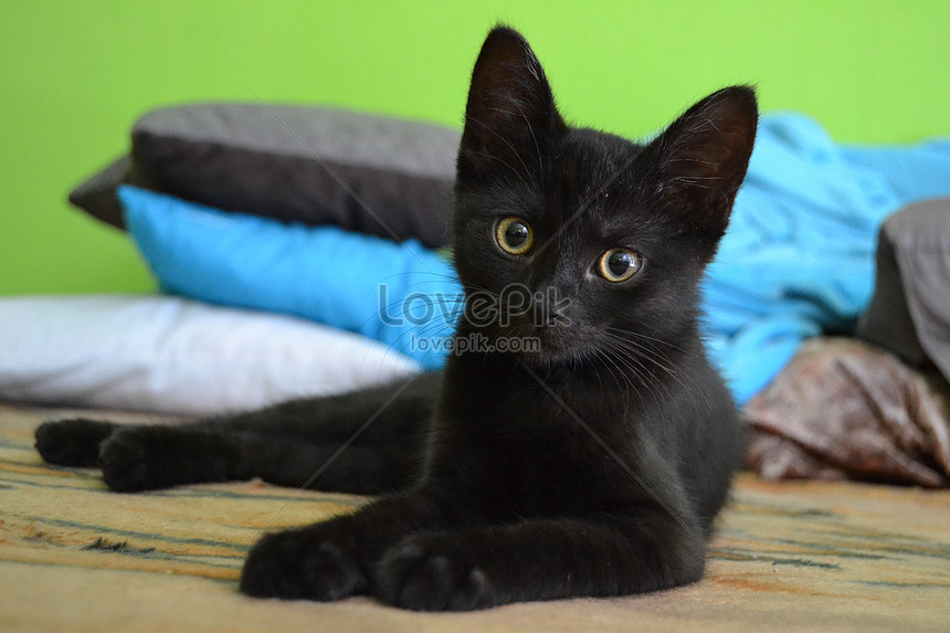 95 Foto Gambar Kucing Warna Hitam Kekinian