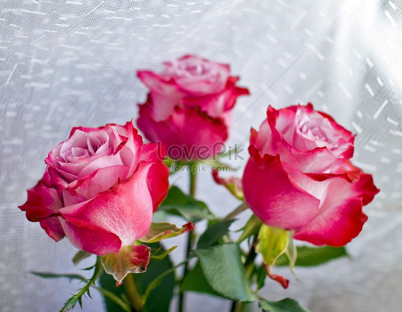 Red Rose Flowers Photo Image Picture Free Download 100269618 Lovepik Com