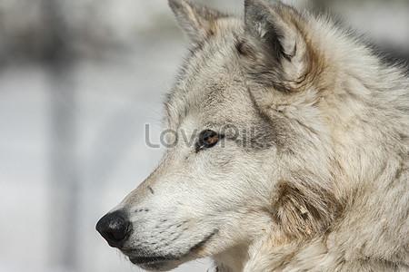 Bilder Zum Wolfskopf Stilisiertdownload Foto Id100127197jpg