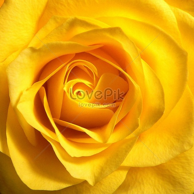A Feature Of A Yellow Rose Photo Imagepicture Free Download