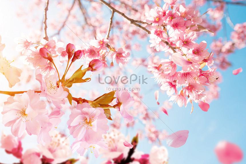 Adegan Bunga Sakura Yang Indah Gambar Unduh Gratis Kreatif 401036516 Format Gambar Psd Lovepik Com