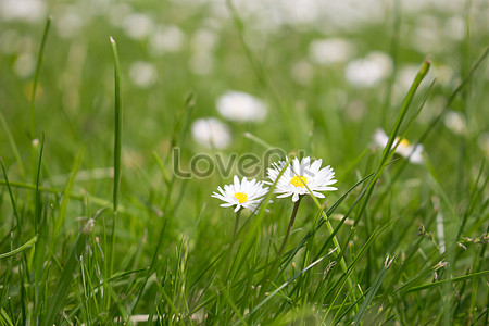 White flowers on the grass photo imagepicture free download white flowers on the grass mightylinksfo