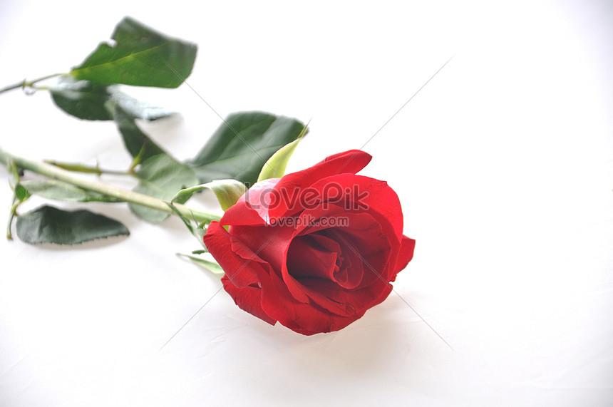 Lovepik صورة Jpg 500075937 Id صورة فوتوغرافية بحث صور وردة مزهرة على خلفية بيضاء