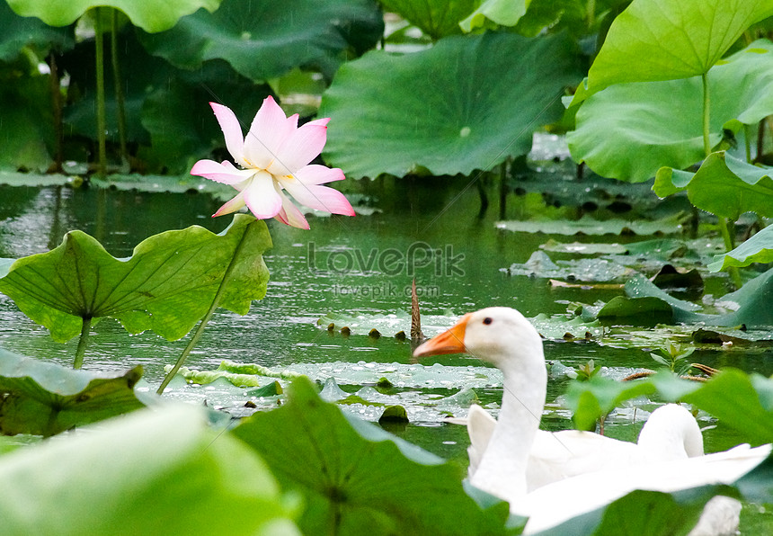 Teratai Dan Angsa Putih Gambar Unduh Gratis Foto 500096031 Format Gambar Jpg Lovepik Com