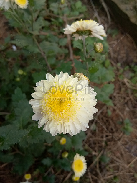 Tanam Bunga Aster Gambar Unduh Gratis Foto 500158436 Format Gambar Jpg Lovepik Com